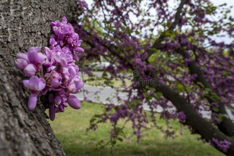 Siliquastrum do Cercis da árvore do Judas em Bulgária foto de stock royalty free
