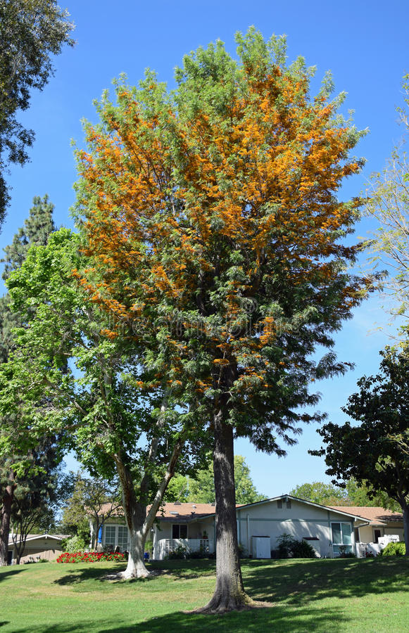 Silk Eiche oder Grevillea Robusta in Laguna-Holz, Caifornia lizenzfreie stockbilder