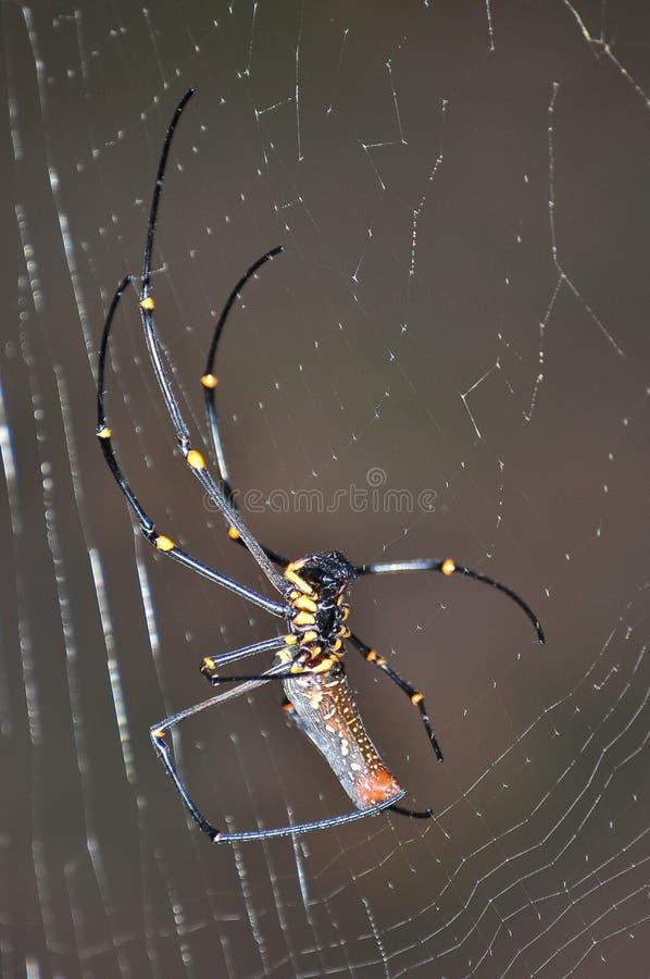 Silk Orb Weaver Spider. A closeup photo of a silk orb weaver spider royalty free stock photo