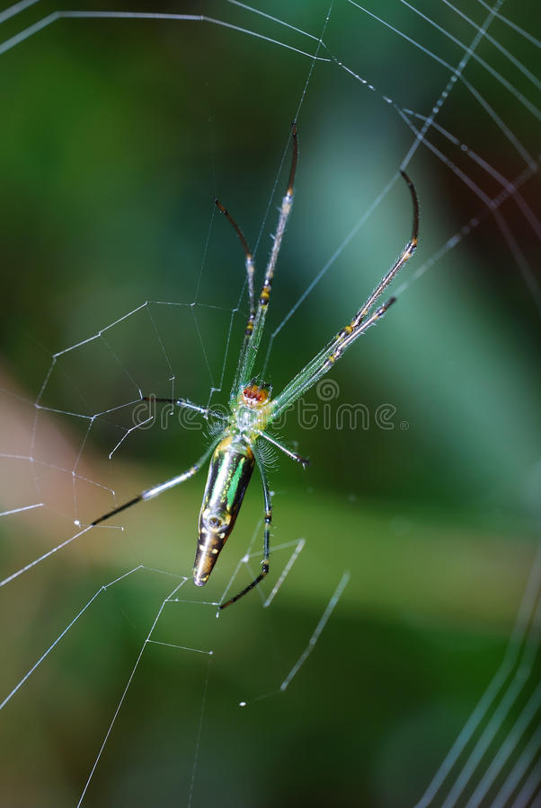 Silk Orb Weaver Spider royalty free stock photos