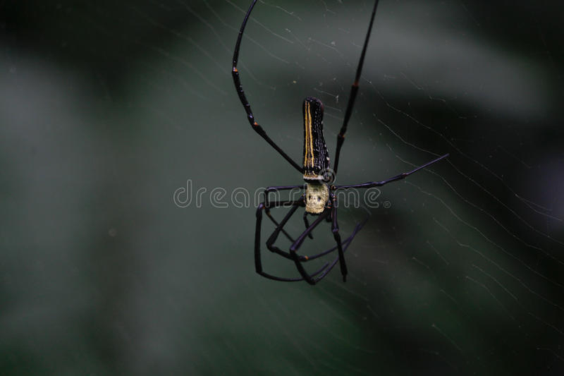 silk spiders, Giant Wood Spider, Nephila pilipes, Nephila maculata, Nephilidae stock image