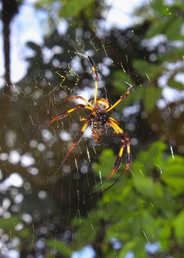 silk spindelvävare för guld- orb arkivfoto