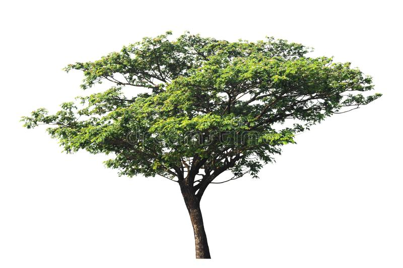 Silk tree or East Indian walnut tree or rain tree isolated on white background with clipping path. royalty free stock photography