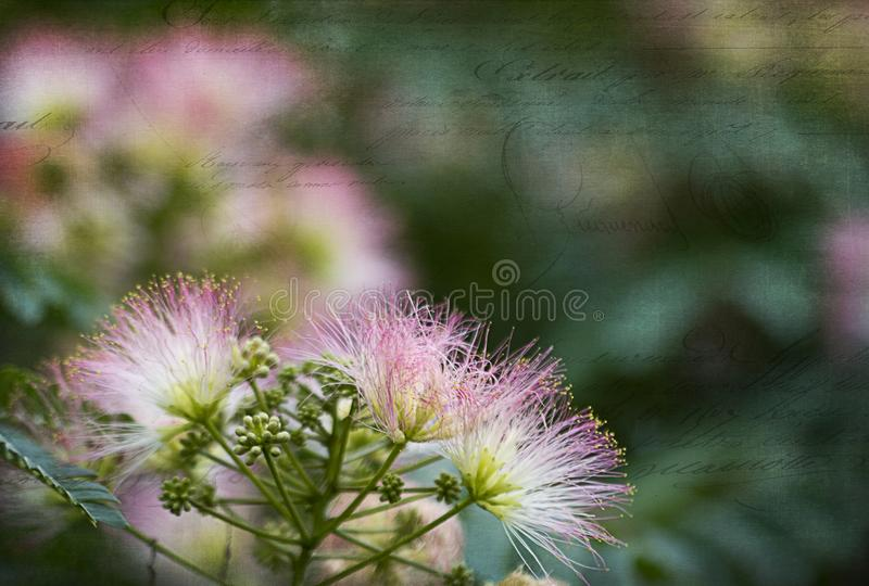 Silk Tree Mimosa With Grunge Texture Script stock photo