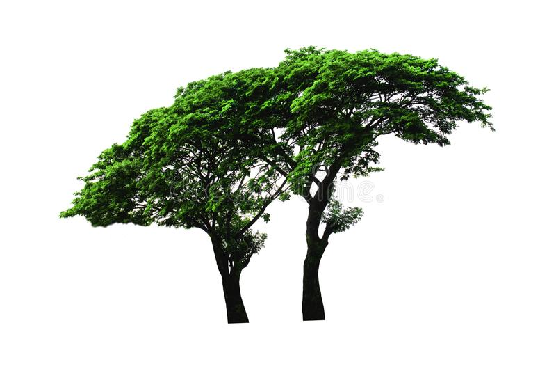 Silk tree or Rain Tree or East Indian walnut tree isolated on white background with clipping path. stock images