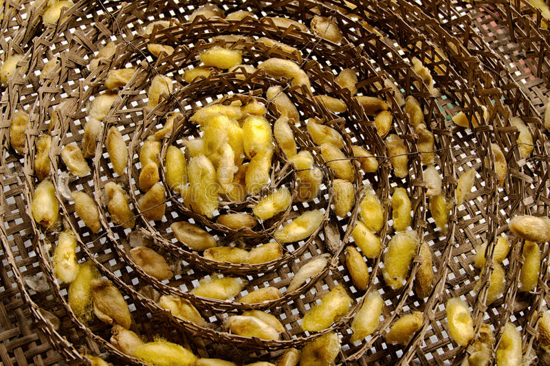 Silk worms nest in bamboo basket stock photography