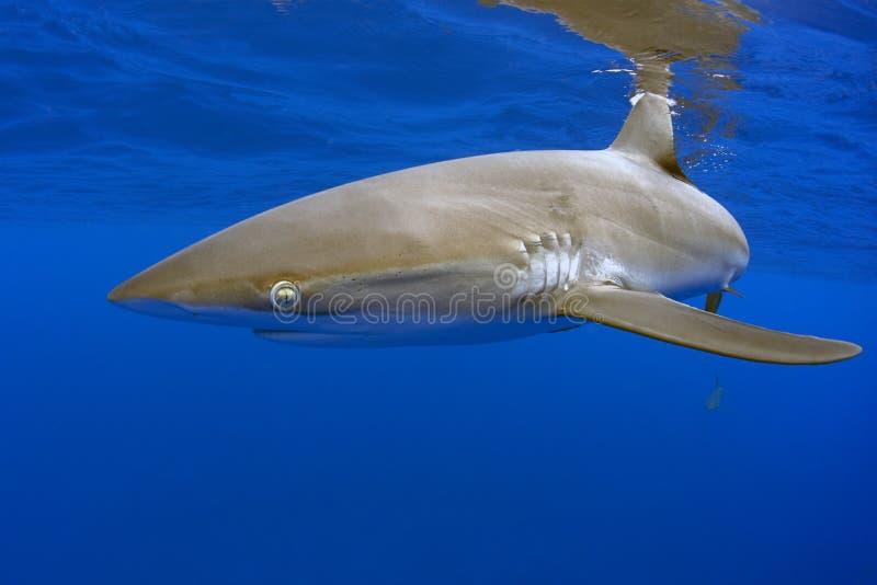 Silkeslen haj, Galapagos royaltyfri bild