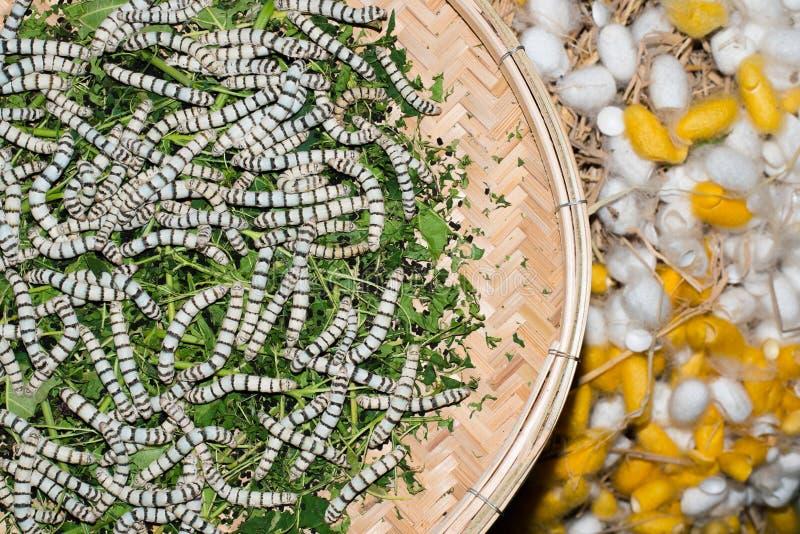 Silkesmaskar och siden- kokonger arkivfoto