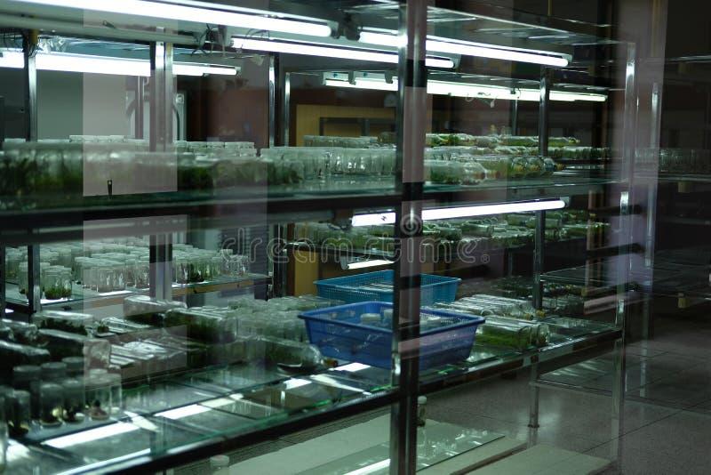 silkespapperkulturteknologi i laboratorium växtcellen växer på nutr royaltyfri bild
