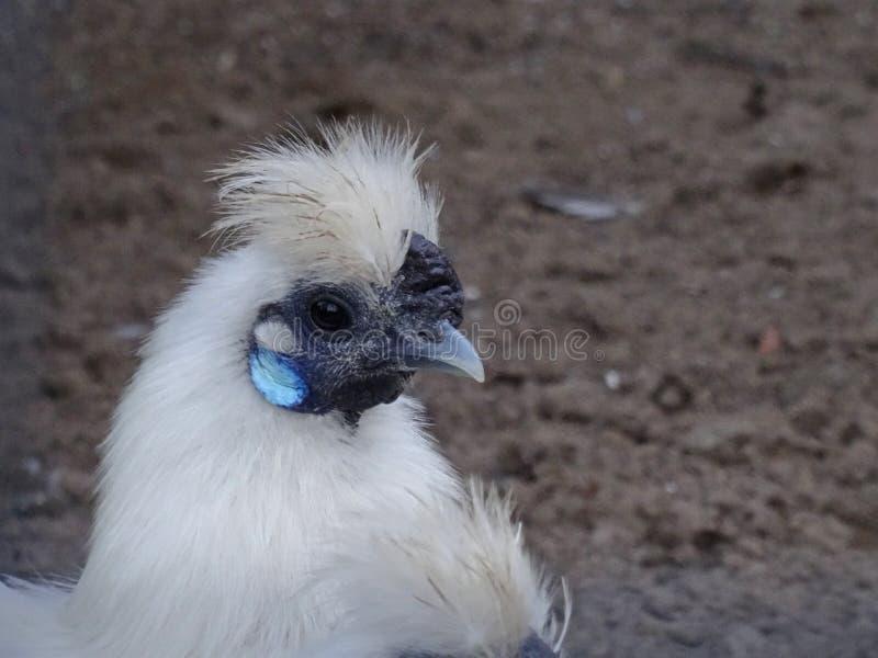Silkie Bantam kurczak zdjęcia royalty free
