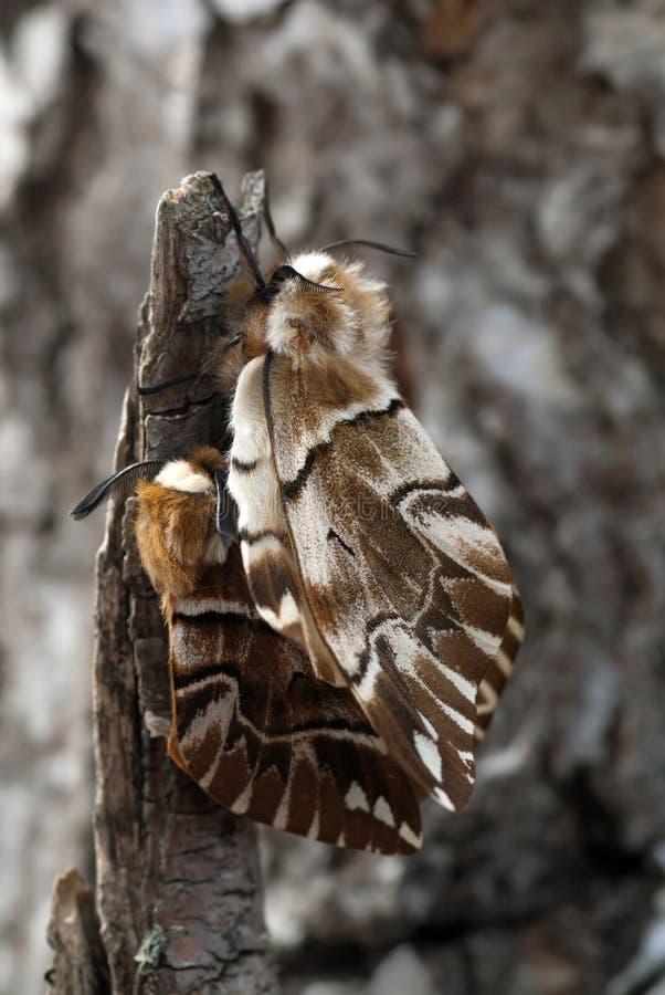 The silkworm moths stock photos