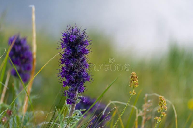 Silky Phacelia ou Blue Alpha Phacelia, flor selvagem fotografia de stock royalty free