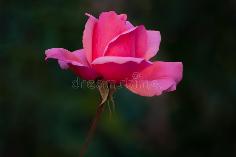 Silky pink rose, silky petals stock images