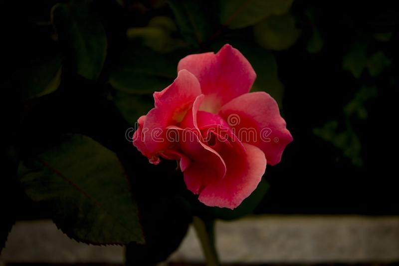 A silky pink rose staring at you royalty free stock images