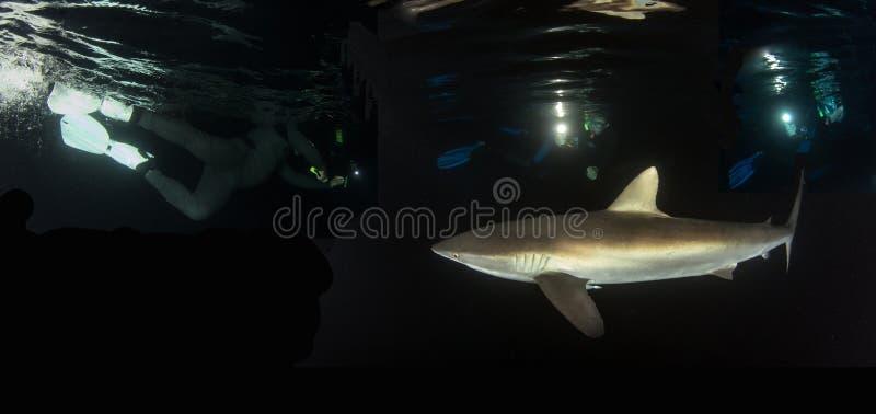 Silky rekin przy nocą przy Isla Revillagigedos, Meksyk zdjęcie royalty free