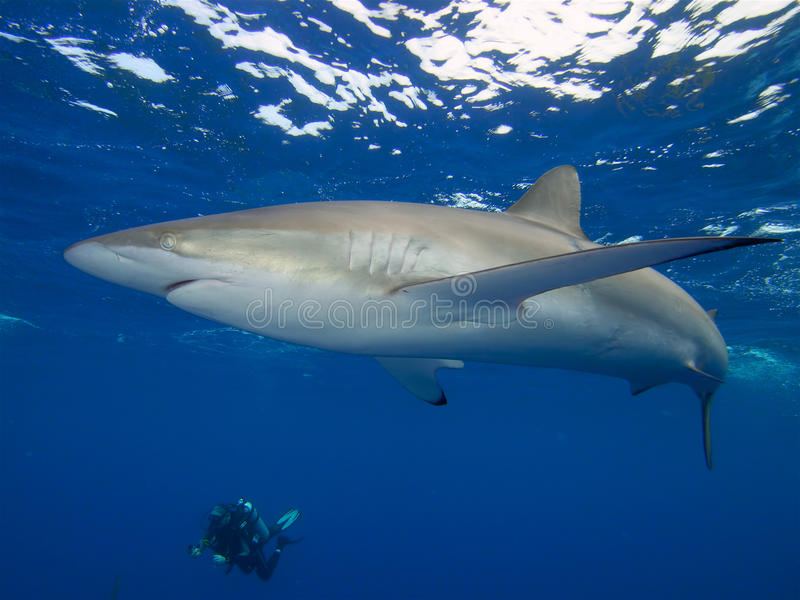 Silky shark and diver, Jardin de la Reina, Cuba. Silky shark swimming just under the surface of the electric blue Caribbean sea with a diver in the background royalty free stock photo