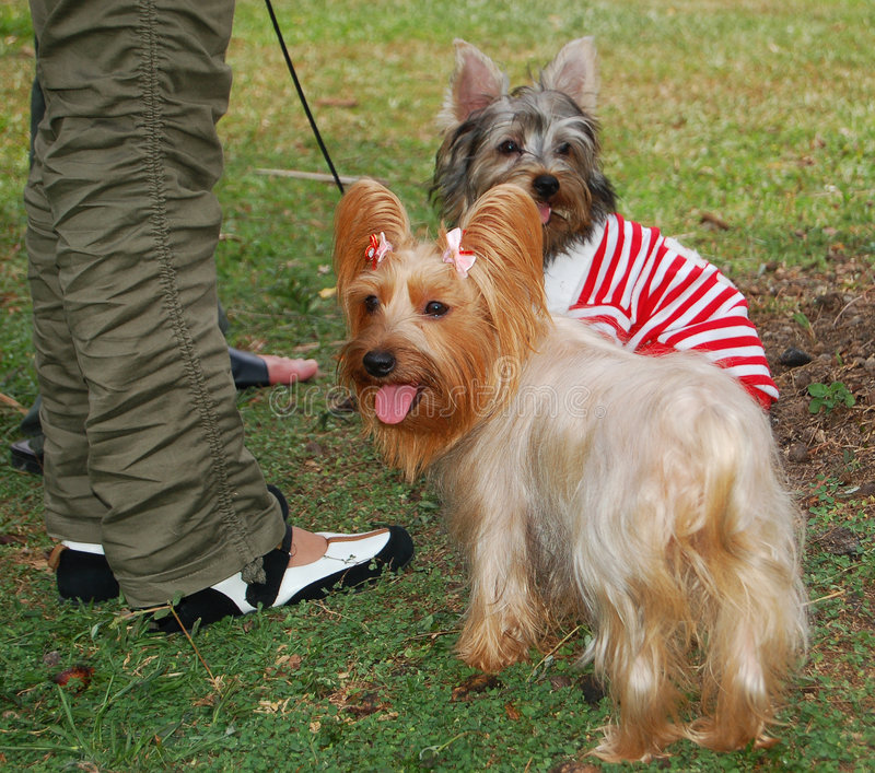 Silky and Skye Terriers royalty free stock image
