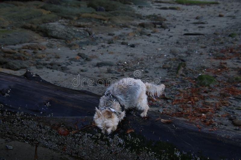 Silky terier X chodzi na mokrej beli zdjęcie royalty free