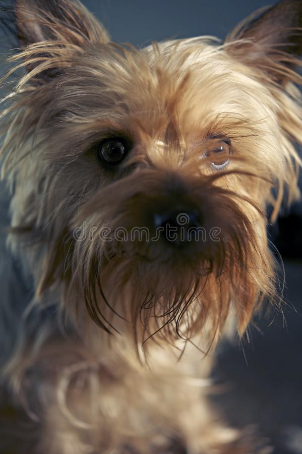 Silky Terrier Portrait royalty free stock photography