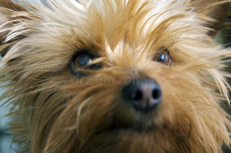 Silky Terrier Portrait royalty free stock image