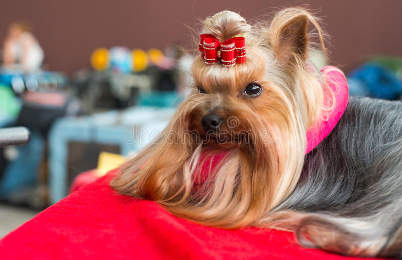 Silky Terrier royalty free stock photography