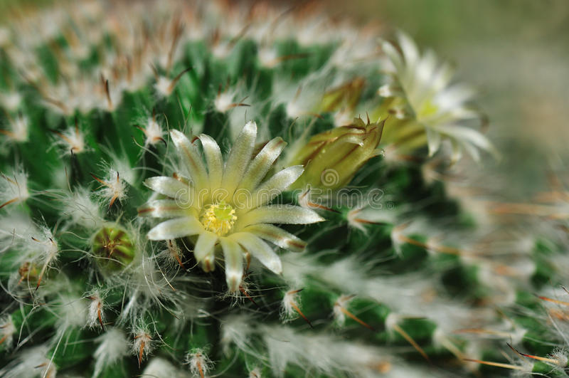 Silky white cactus flower