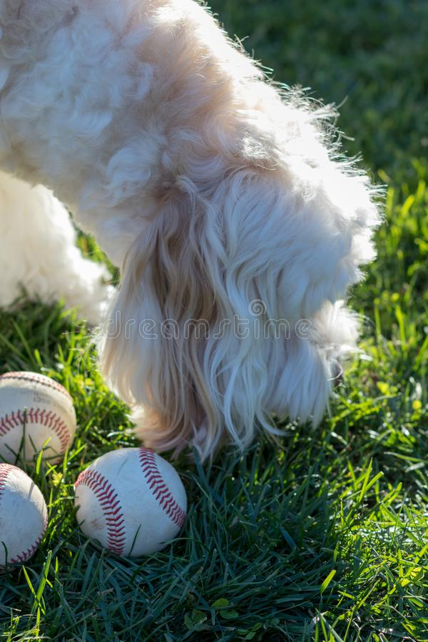Silky, white labradoodle playing in the grass with baseballs on a sunny, winter afternoon royalty free stock photography