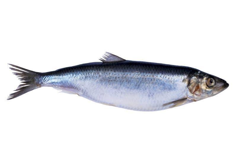 Sillfisk som isoleras på vit bakgrund Djupfryst grupp av fisken med is atlantisk fisk sillar Sillmodell Silltextur royaltyfria foton