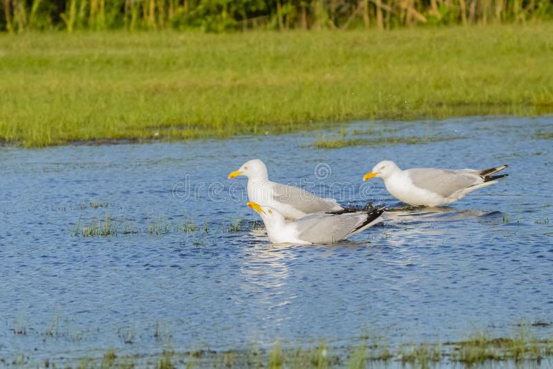 Sillfiskmåsar i Marsh Drinking Water arkivfoton