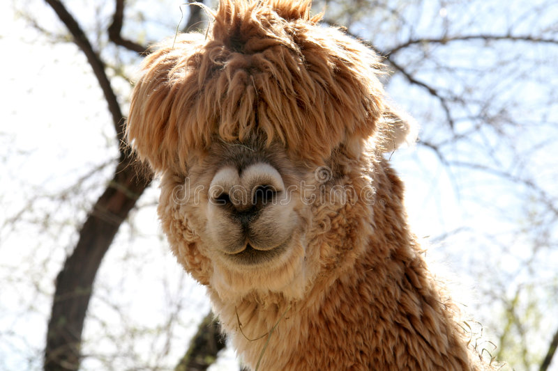 Download Silly Alpaca Stock Image - Image: 761441