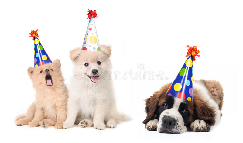 Silly Celebrating Birthday Puppies stock images