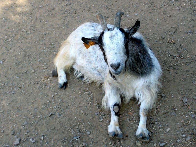 Silly dwarf goat stock photos