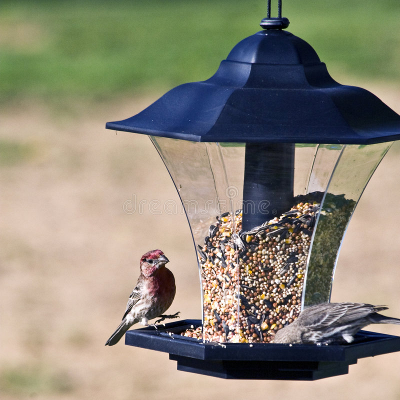 Free Silly House Finches Stock Photos - 5026233