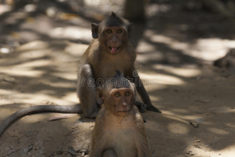 Silly monkey siblings stock images