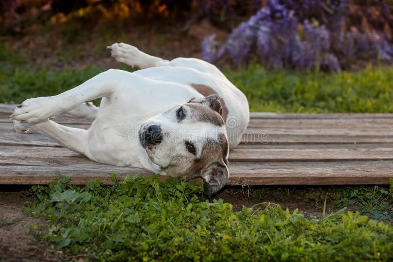 Senior American Staffordshire Terrier, pitbull, lays on her side on wood. A silly old pit bull dog is laying on her side on a wood deck. There are weeds and stock photos