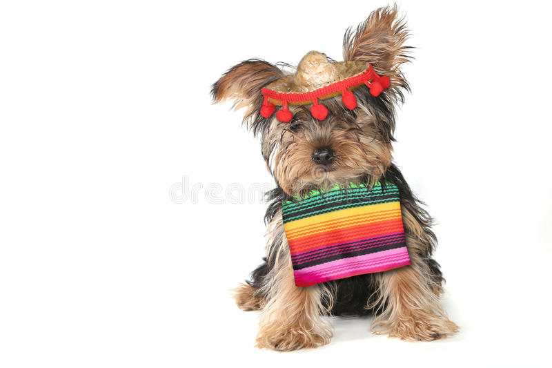 Silly Yorkie Celebrating Cinco De Mayo Holiday. Yorkie Celebrating Cinco De Mayo Holiday royalty free stock images