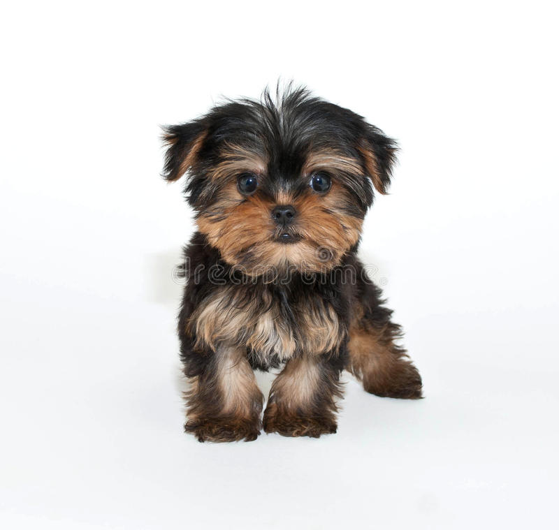 You Looking At Me?. Silly Yorkie puppy that looks like he has an attitude, on a white background stock photos
