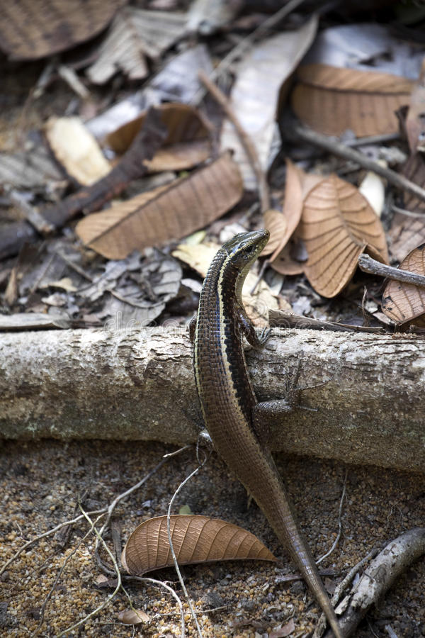 Silna jaszczurka Madagascar girdled jaszczurki, Zonosaurus madagascariensis, Nosaty Mangabe, Madagascar obraz stock