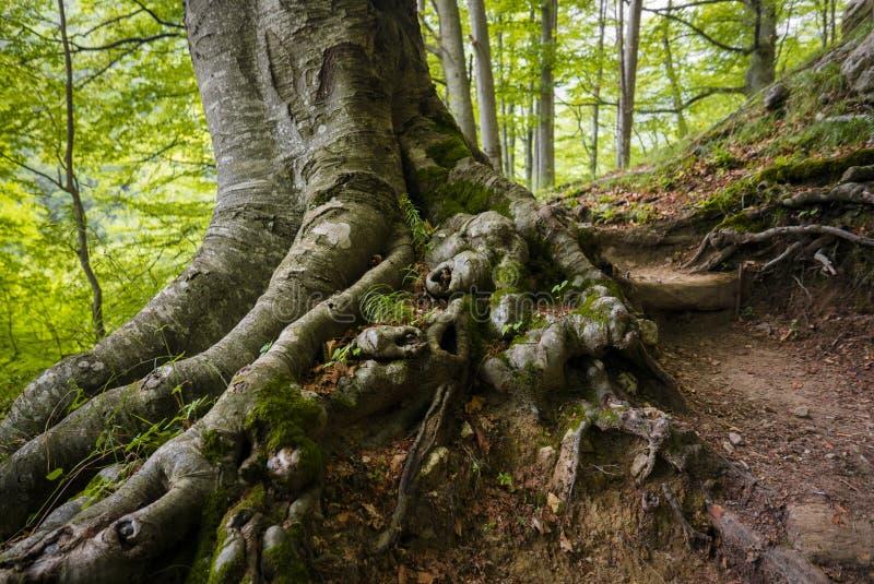silne korzenie zdjęcie royalty free