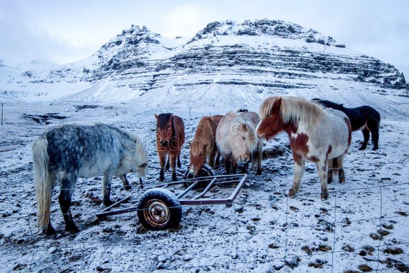 Silni Islandzcy konie zdjęcia royalty free