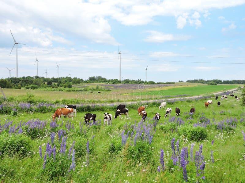 Silnika wiatrowego, krowy i lupine kwiaty, obrazy stock