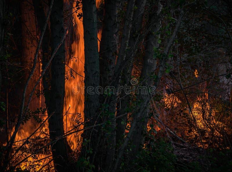 Silny pożar lasu z wysokością płonie płonącą roślinność i drzewa fotografia stock