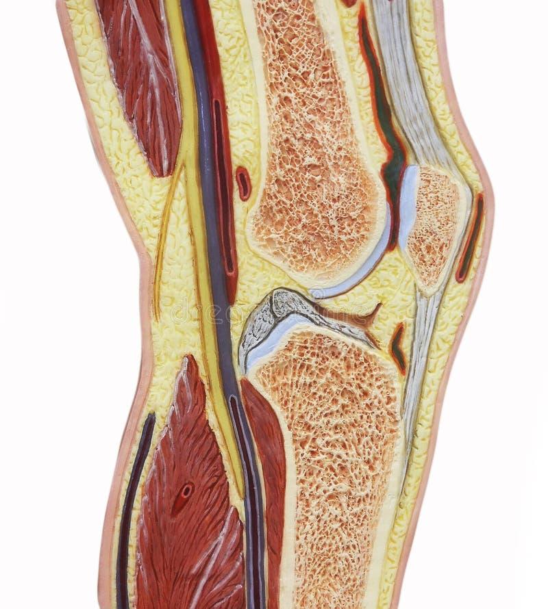 Silo humano da cor da articulação do joelho fotos de stock royalty free