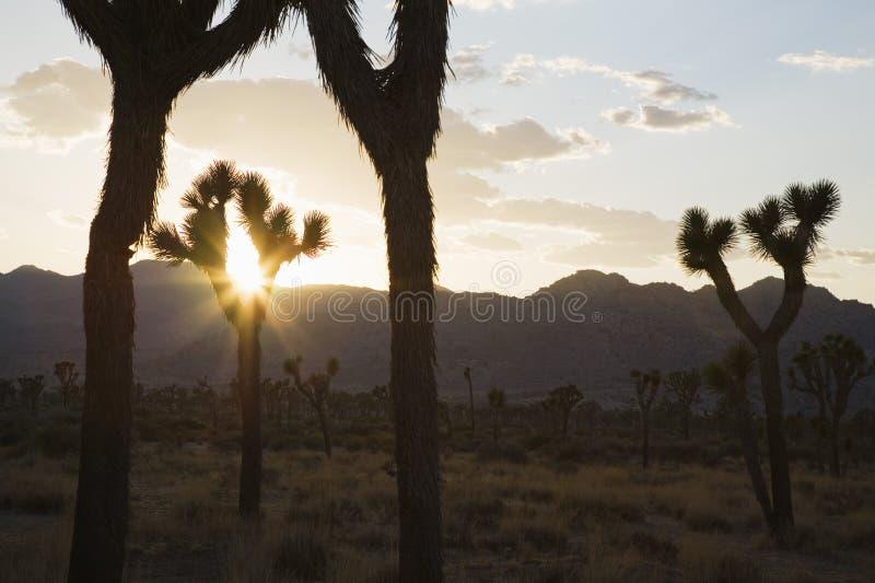 Silouette av Joshua träd i öken på solnedgången royaltyfria bilder