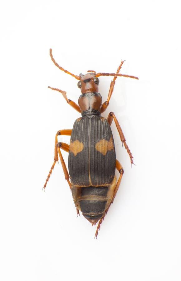 Download Silphidae stock afbeelding. Afbeelding bestaande uit carrion - 29501745