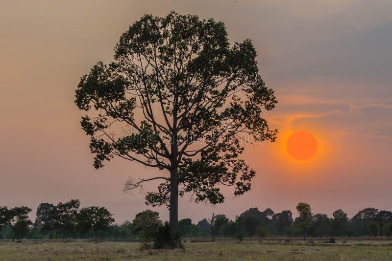 Silueta abstracta la puesta del sol con el campo del arroz de arroz y la paja después de la cosecha, árbol de la planta del alatu foto de archivo