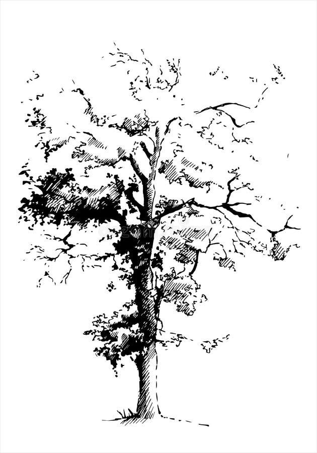 Árbol de álamo negro stock de ilustración