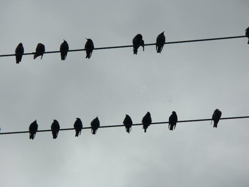 Silueta de cuervos en un alambre de teléfono fotos de archivo