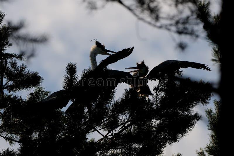 Silueta de Grey Herons adulto y juvenil en el árbol de pino foto de archivo