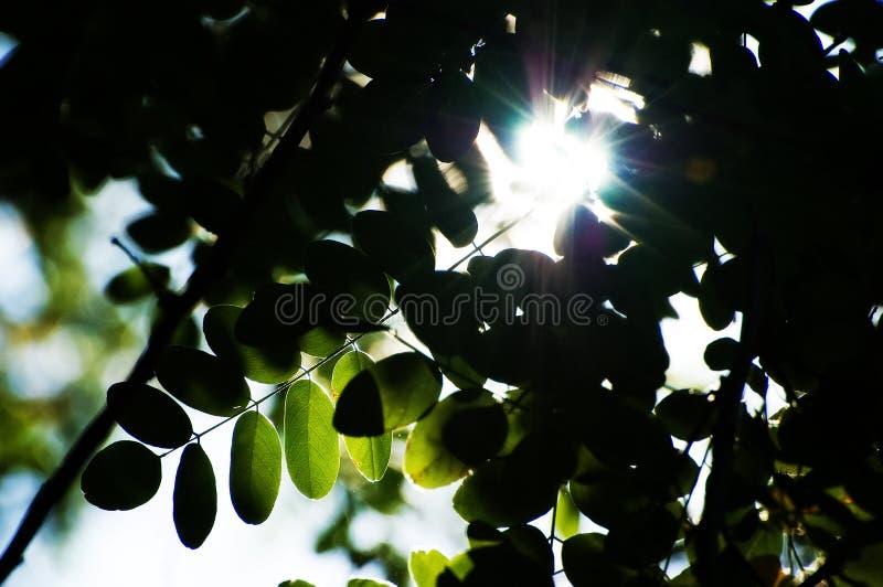 Silueta de hojas con el sol shinning a través fotografía de archivo
